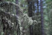 Taiga, Tree Branches Covered With Moss Closeup. poster