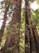 California Redwoods In Muir Woods National  Monument poster