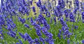 Tenderness Of Lavender Fields. Lavenders Background. Soft And Selective Focus. Bees On Lavender. poster