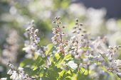 Summer White Flowers Bloom. Meadowsweet. Branch White Flowers. White Buds. White Flowers Blurred Bac poster