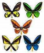 Постер, плакат: Set of five tropical Ornithoptera birdwing butterflies rothschildi priamus urvillianus goliath