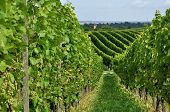 pic of foreshortening  - foreshortening of hilly vineyard with multiple lines of plants in a green rustic landscape - JPG