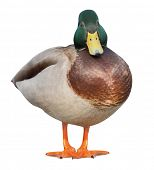 standing mallard duck drake isolated on white background poster