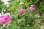 Tea Rose Bush. Rose Oil Production. poster