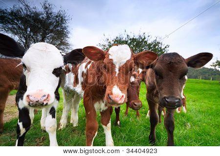 Curious Cow Calfs