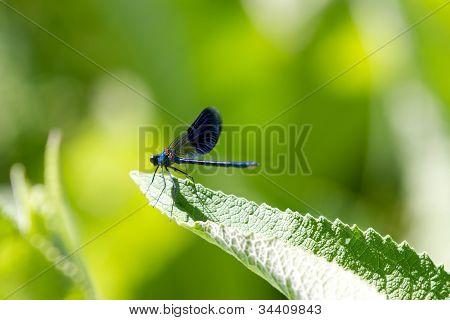 Male Banded Demoiselle Damselfly Dragonfly