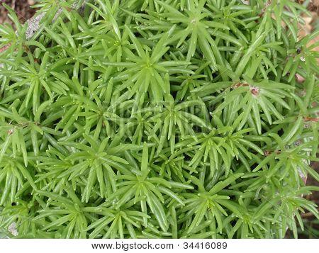 Fleshy plant