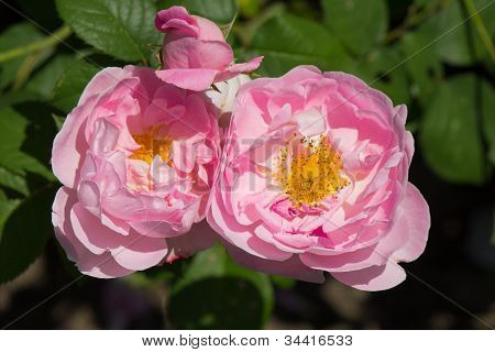 Constance Spry Roses In Bloom
