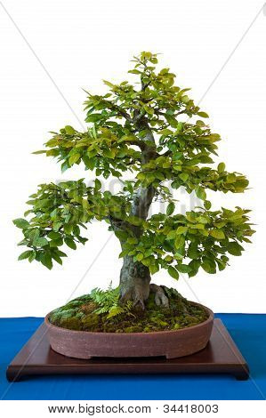 Hornbeam As Bonsai Tree In Pot With Moss And Fern