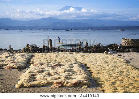 Algas secagem Nusa Lembongan Bali
