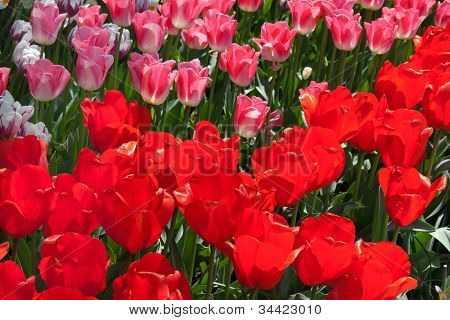 Red Pink Tulips Flowers Skagit Valley Washington State