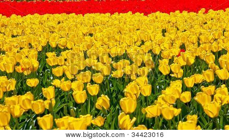 Red Yellow Tulips Flowers Skagit Valley Washington State