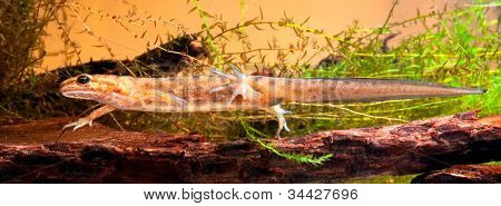 smooth or common newt Lessotriton vulgaris. Female swimming in pond. beautiful European amphibian