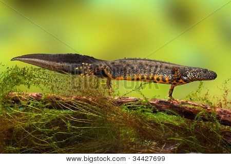 great crested newt or water dragon in fresh water pond endangered and protected species. Nature conservation animal,breeding male
