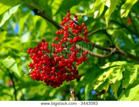 The Red Elderberry