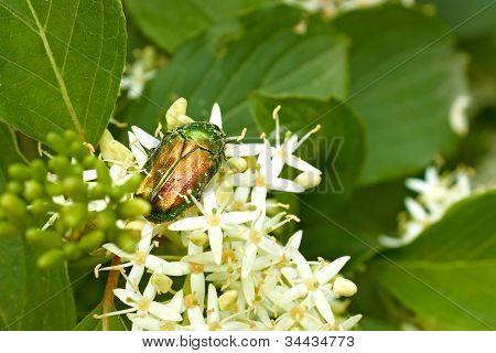 Green Beetle On The Flowering Plants
