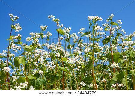 Buchweizen Blütenpflanzen