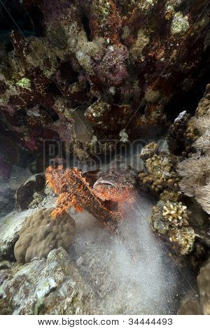 Two scorpionfishes fighting in the Red Sea.