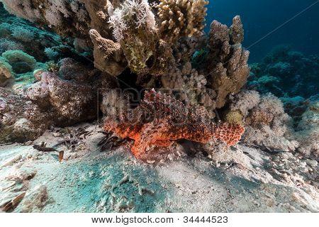 Smallscale scorpionfish  in the Red Sea.