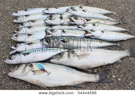 Seabass and Mackeral