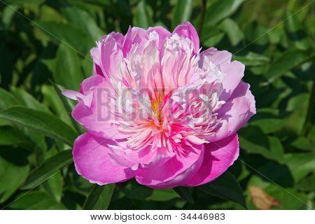 pink pion