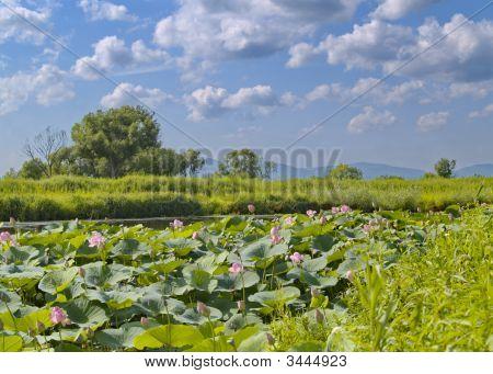 Blüte Rosa Lotus See.