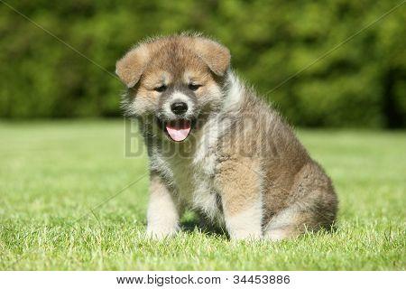Shiba Inu Puppy On Green Lawn