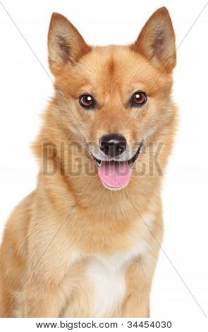 Finnish Spitz Portrait