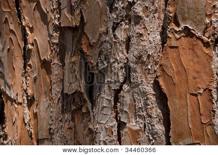 Pine Trunk Close-up
