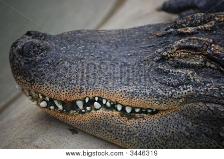 Sleeping Alligator