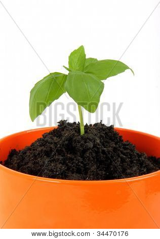 Young plant in the pot, isolated on white background