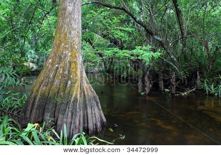 Large Cypress Tree