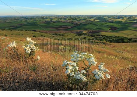 Palouse With White Wildflowers