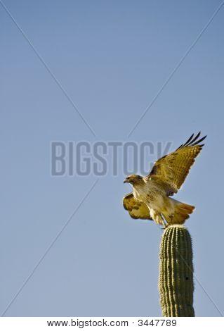 Hawk On Saguaro Cactus