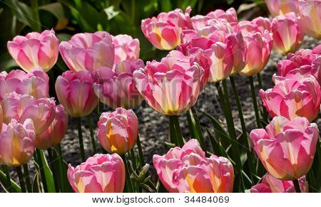 Pink Yellow Tulips Flowers Skagit Valley Washington State