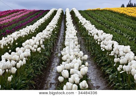 White Tulip Hills Flowers Skagit Valley Washington State