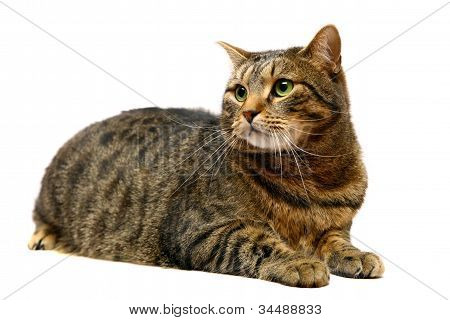 Tabby cat of a white background