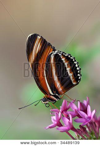 Banded Orange Butterfly, Dryadula phaetusa
