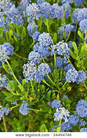 Ceanothus Impressus Santa Barbara Flowering Bush