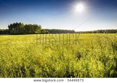 Ecological Oat Field