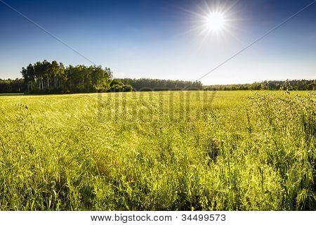 Ecological Oat Field