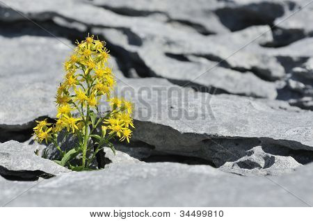Goldenrod in Limestone Pavement