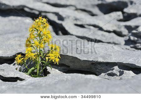 Goldenrod in Limestone Pavement
