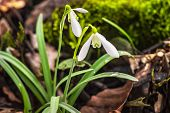 Snowdrop Spring Flowers.delicate Snowdrop Flower Is One Of The Spring Symbols .the First Early Snowd poster