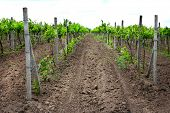 picture of moscato  - Young vineyard - JPG