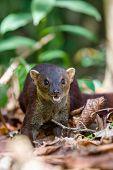 Ring-tailed Mongoose, Galidia Elegans, Carnivoran Native To Madagascar. Farankaraina. Madagascar Afr poster