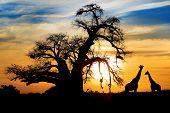 Постер, плакат: Впечатляющий Африканский закат с баобаба и Жираф