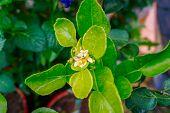 Mexican Aster Or Garden Cosmos, Cosmos Bipinnatus, White Flower Close-up, Selective Focus, Shallow D poster
