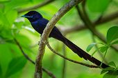 Seychelles Paradise Flycatcher - Terpsiphone Corvina Rare Bird From Terpsiphone Within The Family Mo poster