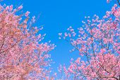 Pink Blossoms On The Branch With Blue Sky During Spring Blooming,.branch With Pink Sakura Blossoms,  poster